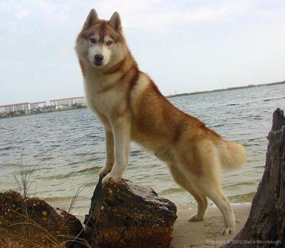 Red Husky... pretty awesome