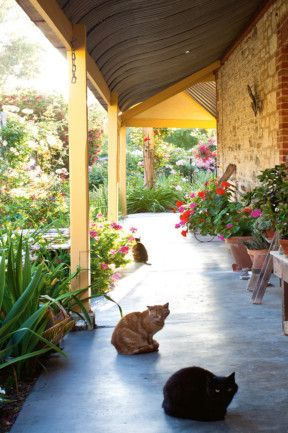 Sooty (front), Baby Puss and Tiger (at rear) enjoy the shade on the concrete verandah that links the newer and original...