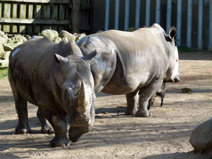 Vorbereitungen für einen Aquarellkurs im Schweriner Zoo | Nashörner im Schweriner Zoo (c) Frank Koebsch