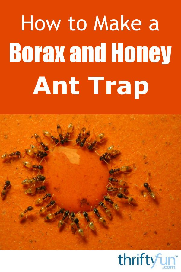 Sugar ants find their way to where sweet stuff can be found. A homemade trap can be an effective way to get rid of them. This is a guide about making a borax and honey ant trap.
