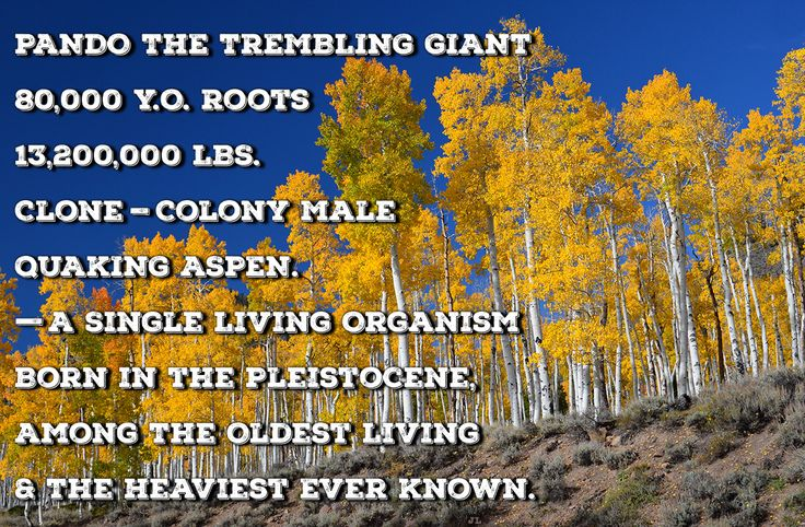 PANDO THE TREMBLING GIANT 80,000 Y.O. Roots 13,200,000 LBS. Clone-Colony Male QUAKING ASPEN. —A Single Living Organism, Born in the Pleistocene, Among The Oldest Living & The Heaviest Ever Known. https://en.wikipedia.org/wiki/Pando_(tree) https://Pinterest.com/johnjliam/nature-does-it/