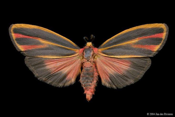 Painted Lichen Moth (Hypoprepia fucosa tricolor) - Norway Lake, Ontario - July 17, 2004