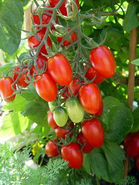 Growing Grape Tomatoes