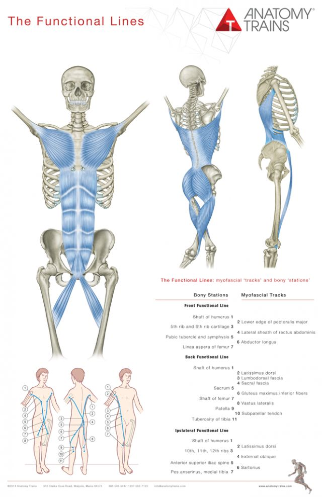 37 best anatomia lineal images on Pinterest | Anatomy, Massage ...