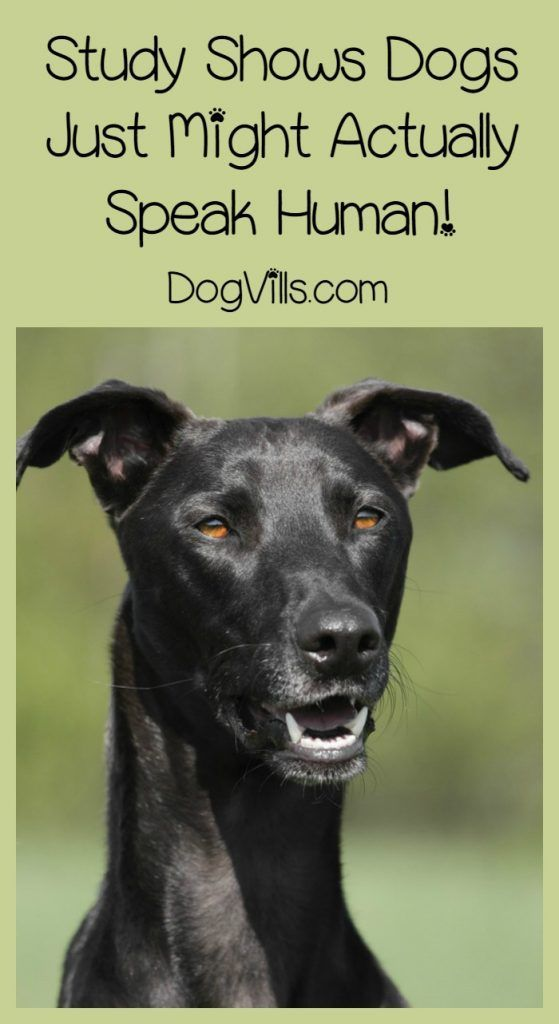 Best dog news ever: study shows your dog might just understand all those witty comments you direct at him! Well, sort of, anyway! Check it out!