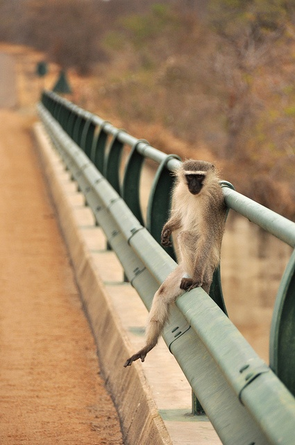 Africa | A monkey relaxing on the bridge over the Olifants River in Kruger National Park, South Africa  | © Lauren Barkume