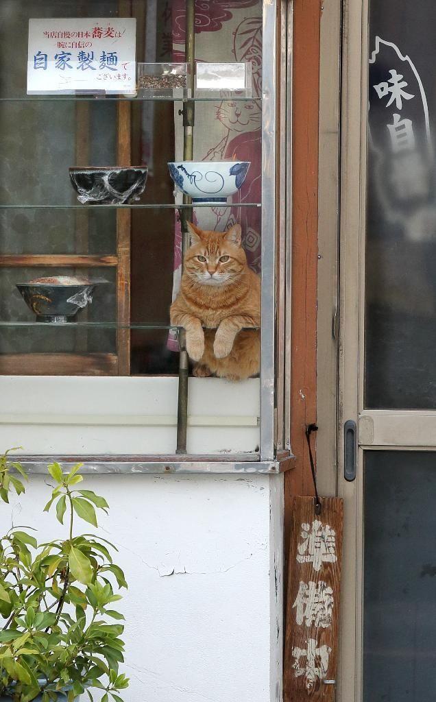 そば屋「やぶ」の休憩時間に、ショーケースの中から「人間観察」を楽しむ?看板猫のピンク=荒川区町屋(尾崎修二撮影)                                                                                                                                                                                 もっと見る