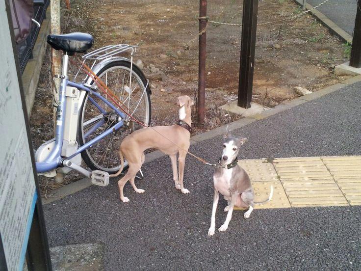 italian gray hound dog