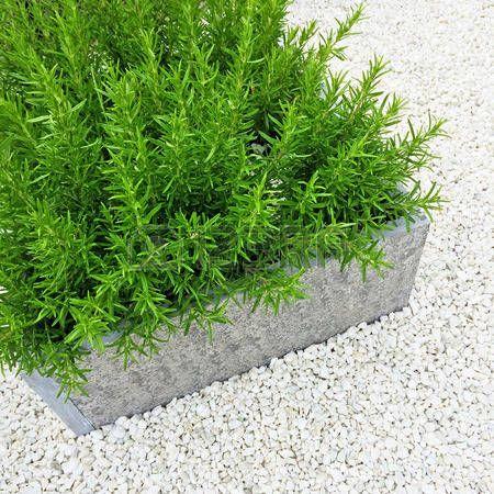 romero planta: Planta de Rosemary en el fondo de piedra blanca. decoración de jardín contemporánea.