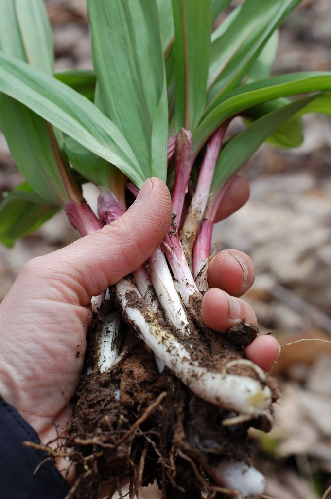 Learn where to find wild ramps - a sought-after spring delicacy - and how to harvest them sustainably.
