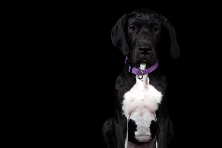 Charlie - Great Dane © www.thebeingproject.co.za