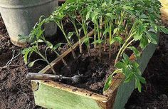 Йод помогает опытным огородникам получать отличный урожай помидоров. Воспользуйтесь этими знаниями! Для того чтобы помидорная рассада была сильнее, активнее росла, а после высадки в грунт — хорошо прижилась, нужно 1 раз полить ее йодным раствором. Делается это примерно через 2-3 недели после