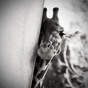 Girrrrraffaa: Cute Giraffes, Black White Photography, Baby Giraffes, Beautiful, Creatures, Adorable, Funny Animal, Peekaboo, Peek A Boo