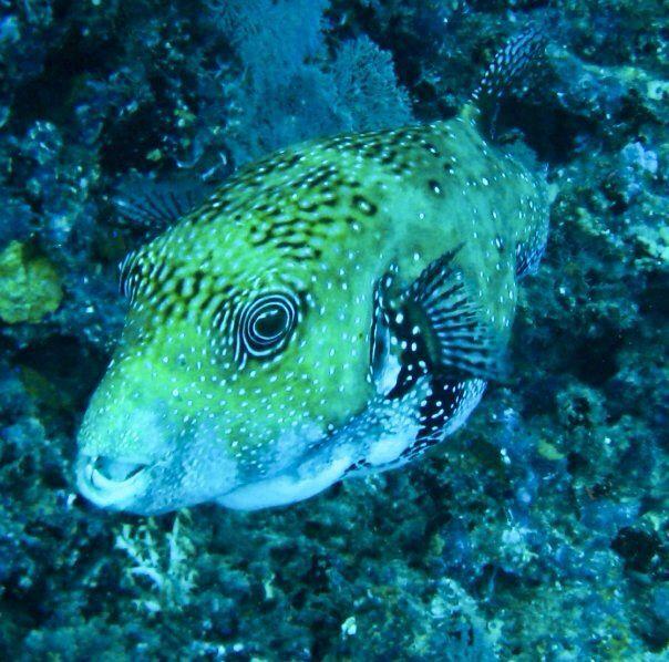 #pufferfish #scuba #Diving #maldives