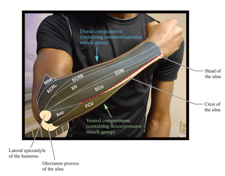 surface anatomy of supinator and pronator muscles - Google Search