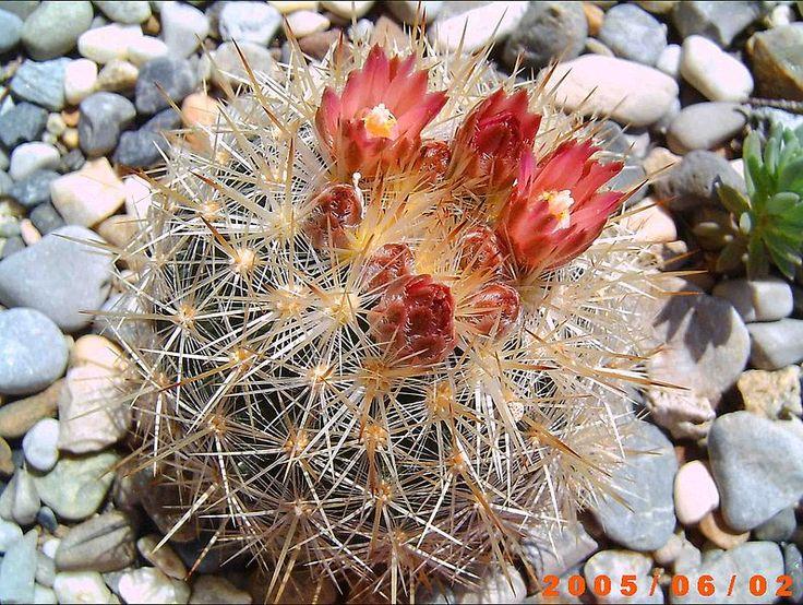 Arquivo: Escobaria sneedii organensis SB823.jpg