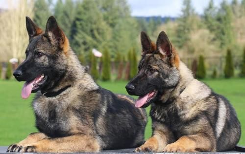 Older Trained Puppies