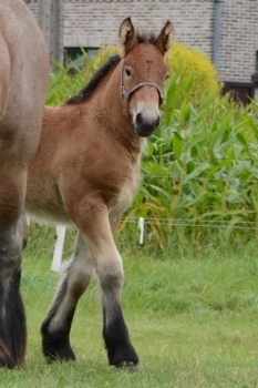 colorful pictures of draught horses | Horse for sale: Belgian Draught horse, Foal, Breeding, Recreation
