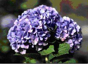 L'hortensia apparaît comme une fleur qui pourrait regrouper un peu toutes les notions de LMH