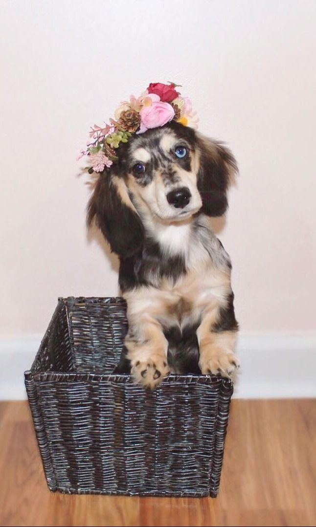 Top Funny Moments Showing That Dachshunds Are The Cutest Dogs In