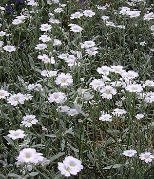 Cerastium Silver Carpet
