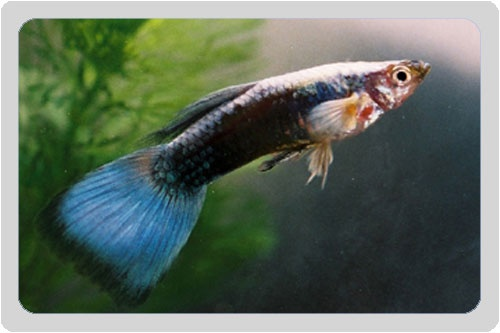 17 best images about guppies on pinterest neon red for Guppy fish food
