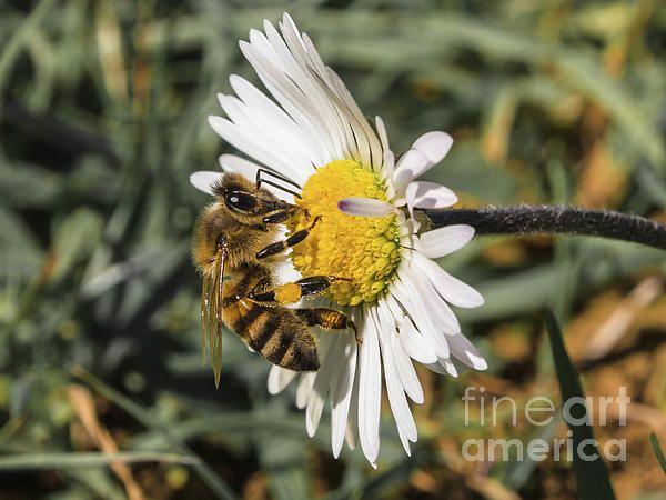 Bee on flower daisy #fineart #bee #daisy