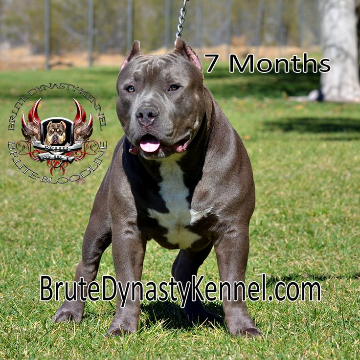 TRI COLOR XL BULLY PITBULLS & POCKET PITBULL PUPPIES FOR SALE,WITH A KENNEL IN NEW YORK,NEW JERSEY & FLORIDA.SHIPPING TO COLORADO,TEXAS,ILLINOIS & GEORGIA