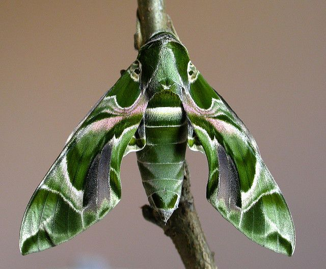 "Oleander Hawk Moth (Daphnis nerii)  by Steve Covey: This female was bred in captivity - but from ova collected in the wild under license from Rhodes, Greece. She has a 90mm [nearly 4""] wing span!! The caterpillars feed on oleander leaves and are immune to their toxicity. Adult prefer to feed on the fragrant blossoms of jasmine, honey suckle and petunia. #Oleander_Hawk_Moth #Steve_Covey #Insects"