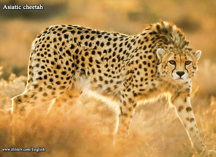 the asiatic cheetah The asiatic cheetah is a big cat found in iran and is the only cheetah subspecies indigenous to asia while the asiatic cheetah resembles the african cheetah, the two are different subspecies with the asiatic cheetah being slightly smaller than its african counterpart.