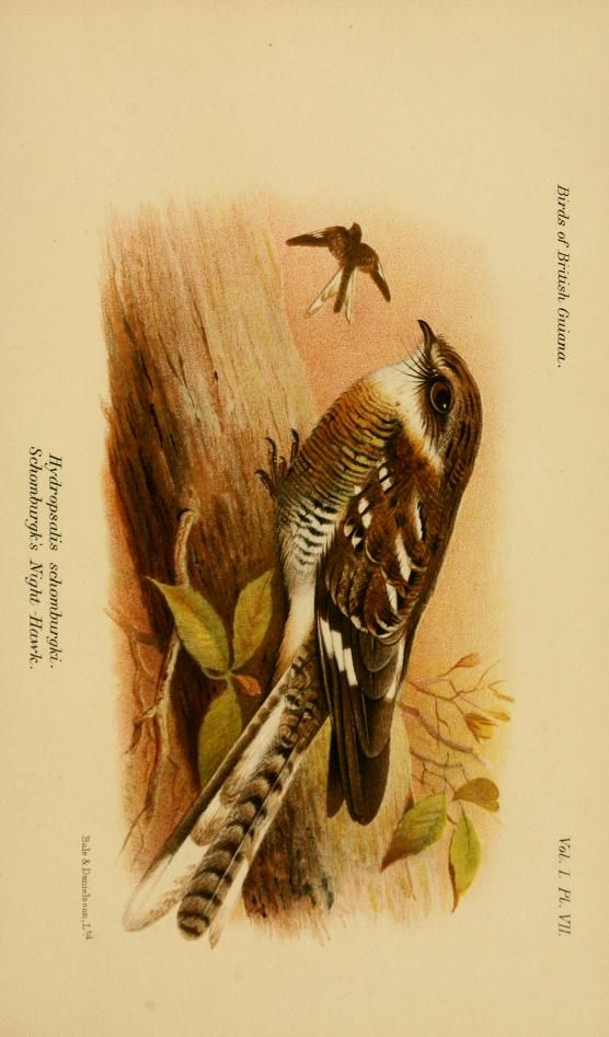v.1 (1916) - The birds of British Guiana : - Biodiversity Heritage Library