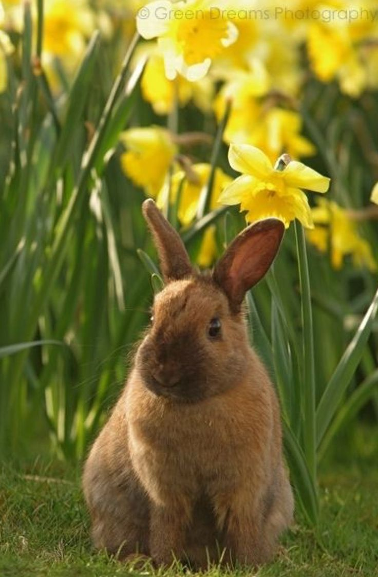 best iepurași images on pinterest bunnies fluffy pets and