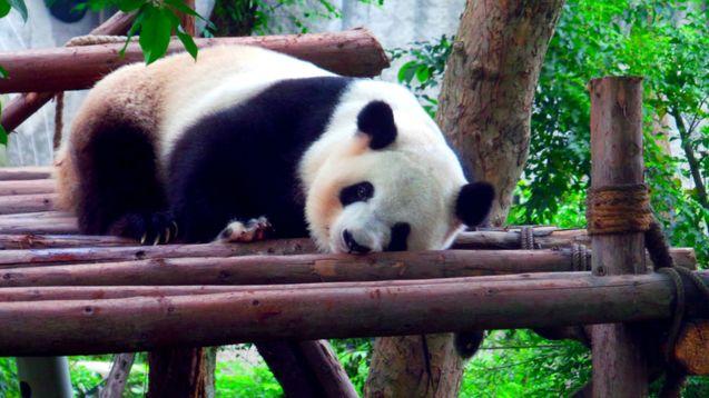 Chengdu - Home of the Panda