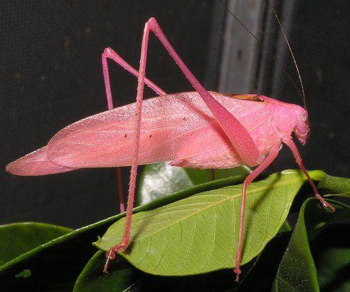 Very Rare Pink Katydid