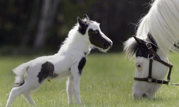 Einstein - the World's Smallest Horse: Miniatures Horses, Smallest Out, Newborns Baby, Ponies, Pinto Hors, Baby Hors, The World, Minis Horses, Animal