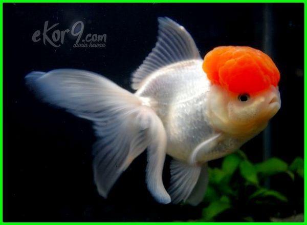 23 Jenis Ikan Mas Koki Yang Paling Bagus Termahal Di Pasaran Lengkap Beserta Gambar Dan Harganya Ekor9 Com Ikan Ikan Mas Binatang
