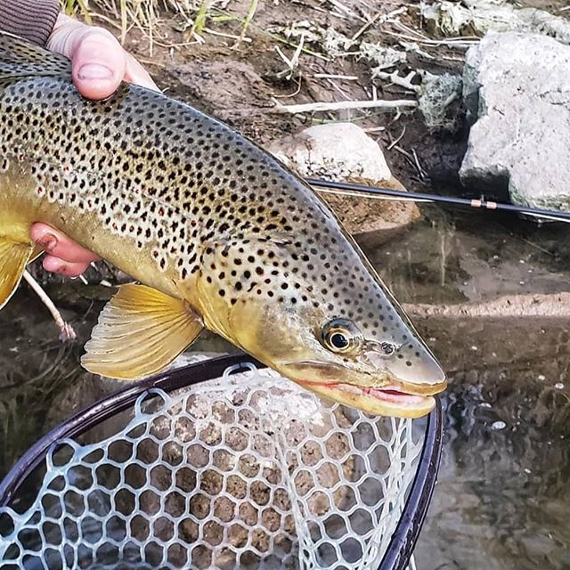 A Big Beefy Brown From Utah By Riplipz Flingstix Flyfishing Troutfishing Trout Browntrout U Fly Fishing Colorado Brown Trout Trout Fishing