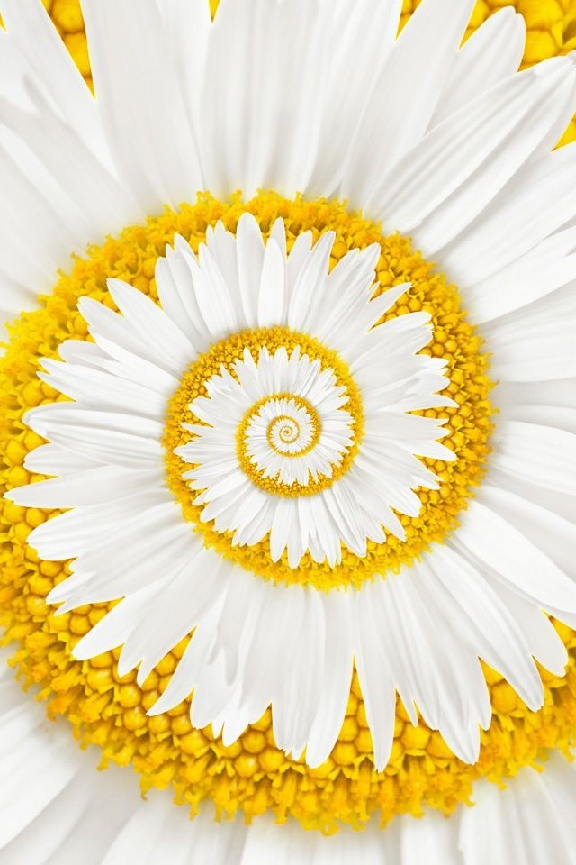 swirling daisy