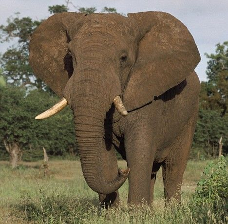 Auction site eBay bans ivory sales to protect endangered elephants ...