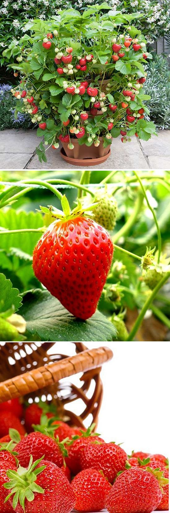 US$3.99 100Pcs Giant Red Strawberry Seeds Rarest Heirloom Super Giant Japan Strawber Seeds Garden