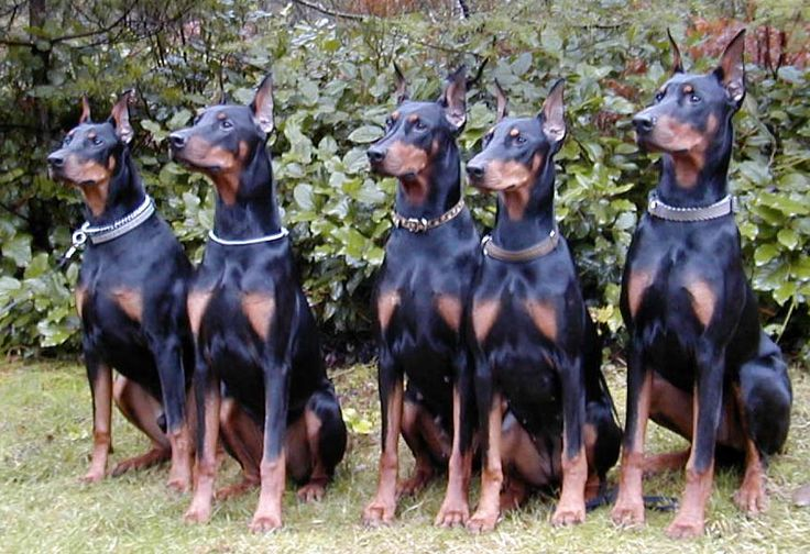 I had a Doberman Pinscher when I was a kid and I have always loved this breed.  I would definitely love to have a Doberman again.  A square, medium-sized dog, the Doberman Pinscher is muscular and possesses great endurance and speed. He is elegant in appearance and reflects great nobility and temperament.