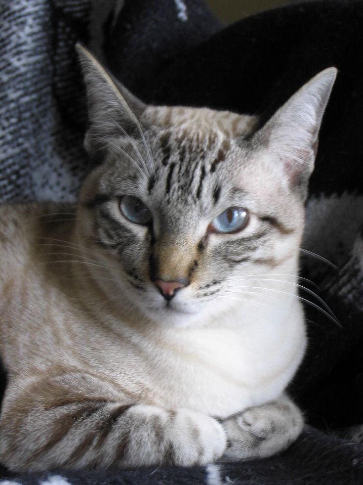 112 Best Images About Lynx Point Siamese On Pinterest