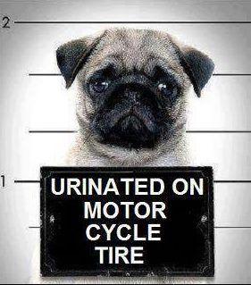 guilty: Motorcycles, Bad Boys, Dogs,  Pug-Dog, Mugs Shots, Mugshots, Funnies Pugs, Pugs Life, Puppys Treats
