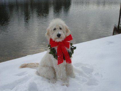 Mustard Seed Ranch Goldendoodles - Prices, Sizes, and the adoption process