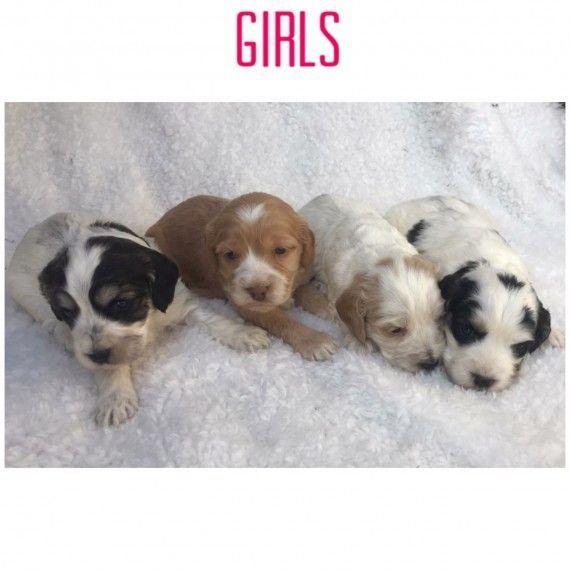 Ashford Cockapoo Kent Pets4homes Puppies Stunning Stunning Cockapoo Puppies Ashford Kent Pets4homes Cockapoo Puppies Puppies Cute Puppies