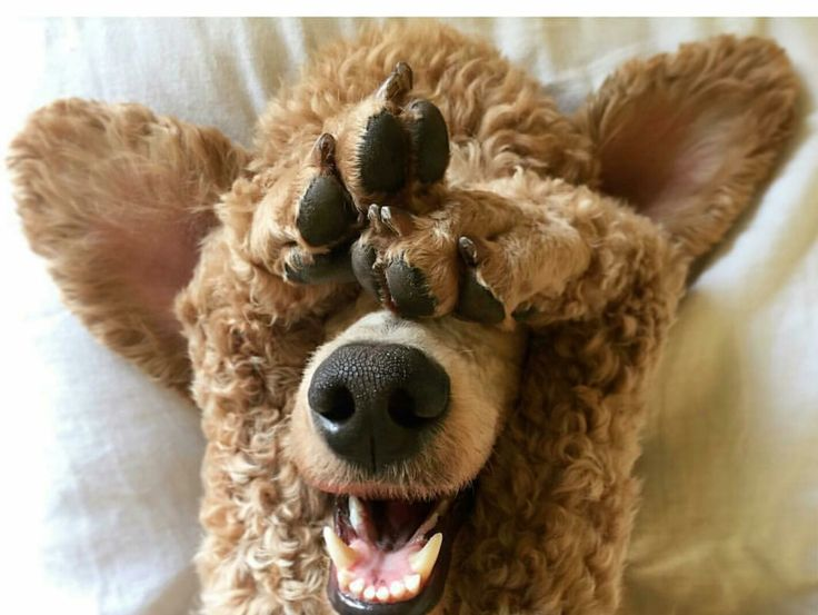 Poodle...I can't see you!                                                                                                                                                                                 More