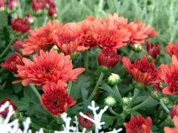 Winteraster 'Brockenfeuer' - Chrysanthemum x hortorum 'Brockenfeuer'