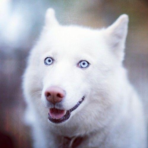 White Siberian Husky With Blue Eyes Pets White Siberian Husky