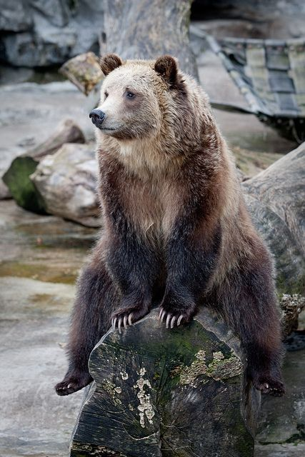 """Grizzly bear """"Looks like a slow day. I'll just sit and relax until somebody comes."""""""
