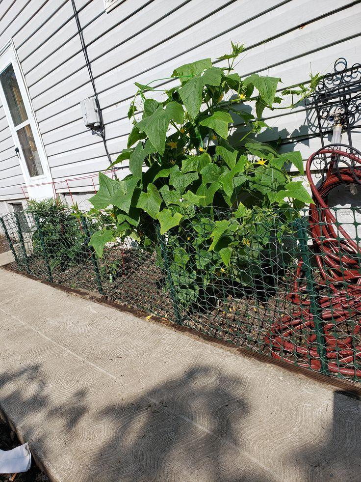Bluhende Kafige Gurken Idee Pflanzen Unterstutzung Bluhende Cucumberasian Cucumberavocado Cucumberbread Cucumbercocktail Cuc Pflanzen Gurke Idee